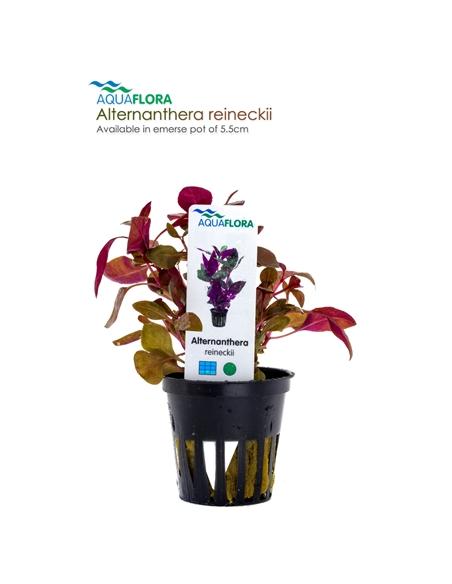 Alternanthera reineckii - 2101519