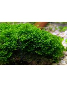 Riccardia Chamedryfolia - In Vitro Cup - 2103329