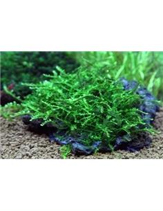 Vesicularia Species - 2103332