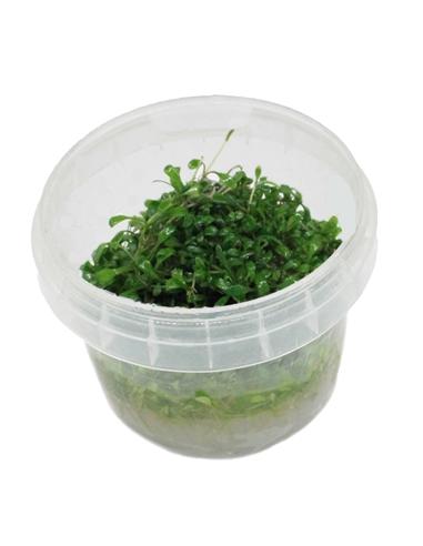 Glossostigma elatinoides - In Vitro Cup - 2101407