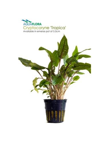 Cryptocoryne Tropica - 2101568