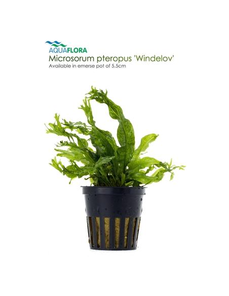 Microsorum pteropus - 2101651