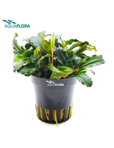Bucephalandra Lamandau Mini Red - 2104026