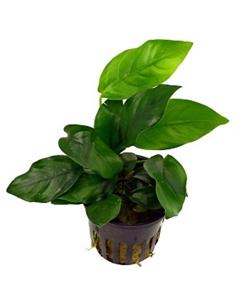 Anubias species - 2101540