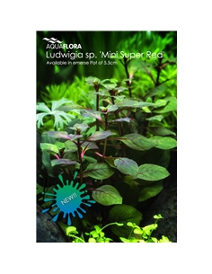 Ludwigia sp. Mini Super Red - 2101641