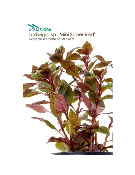 Ludwigia sp. Mini Super Red - 2101641