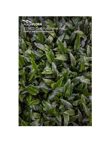 Cryptocoryne mix - 2101561
