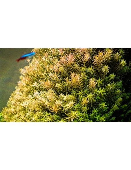 Rotala rotundifolia - 2101673