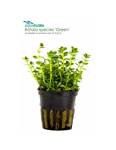 Rotala species Green - 2101674