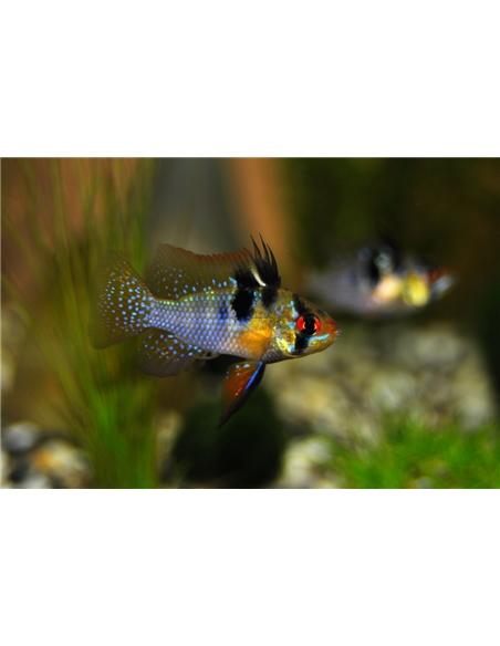 Ramirezi Azul - MICROGEOPHAGUS RAMIREZI - 2100608
