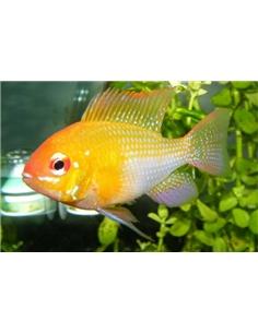 Ramirezi Dourado - MICROGEOPHAGUS RAMIREZI - 2100609