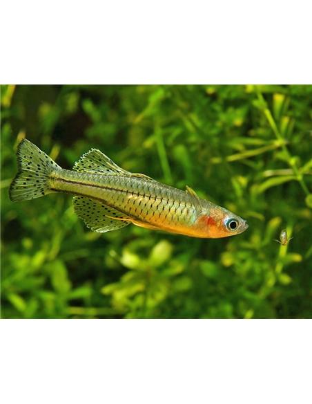 Pseudomugil gertrudae - 2100949