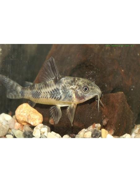 Corydora Paleatus - 2100612