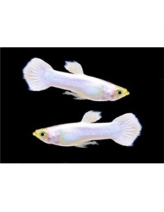 Guppy Macho Snow White  - POECILIA RETICULATUS - 2104129