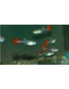 Guppy Femea Cobra Vermelho - POECILIA RETICULATUS - 2104344