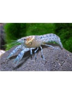 Cambarelus Diminitus Azul - 2103901
