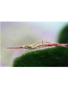 Pinokio Shrimp - 2102891