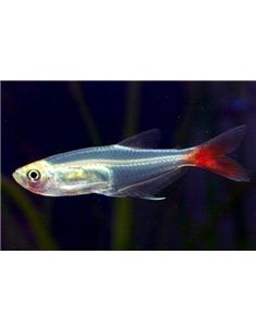 Peixe vidro cauda vermelha - Prionobrama filigera - 2103973