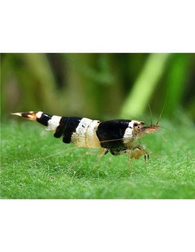 Black Bee Shrimp A-S - 2100664