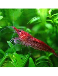 Camarão Red Cherry - 2101413