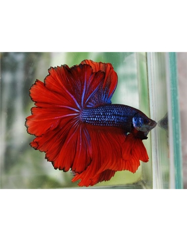 Betta halfmoon - BETTA SPLENDENS - 2100923