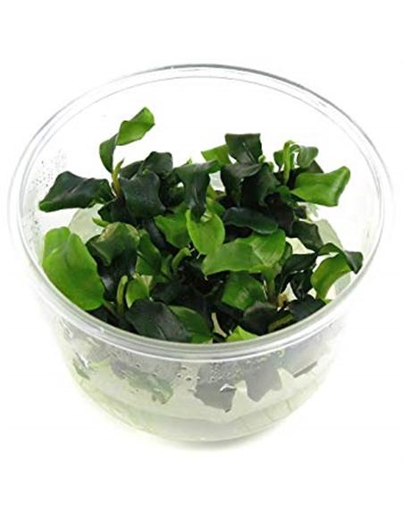 Bucephalandra wavy Green - 2103908