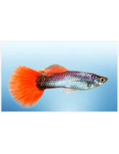 Guppy Macho Neon Firetail - 2104654