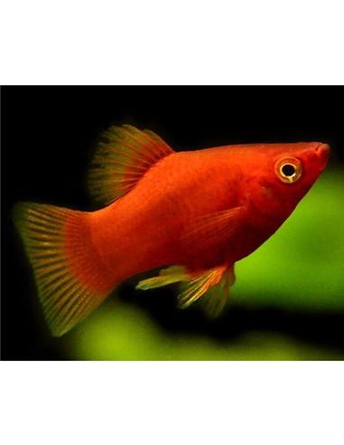 Platy Coral Vermelha - 2104655