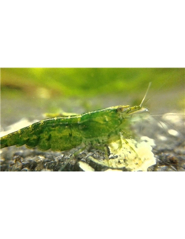 Neocaridina Green - 2100728