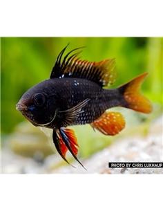 Ramirezi Dark Negro- MICROGEOPHAGUS RAMIREZI - 2104696