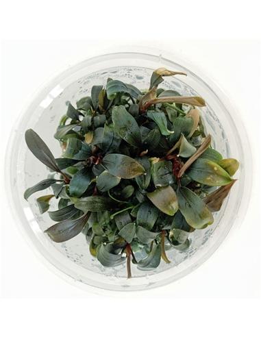 bucephalandra brownie ghost - 2102318