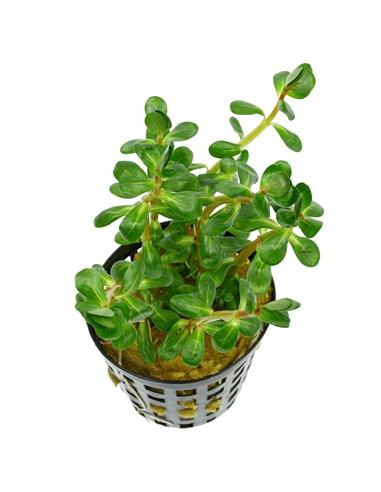 Ammania sp. Bonsai / Rotala indica - 2105055