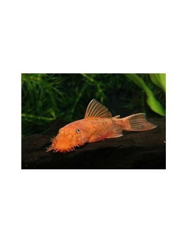Ancistrus Red Brown - LDA 16 - 2100604