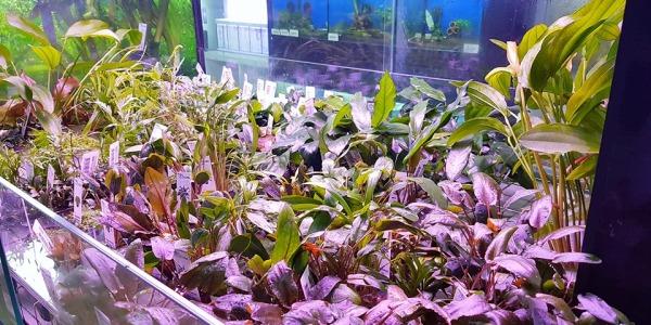 Chegada semanal de plantas aquaflora 26/07/2019
